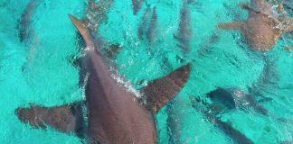 sharks belize