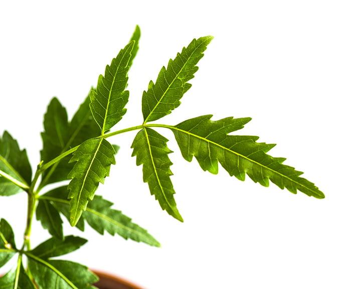Caribbean natural remedies